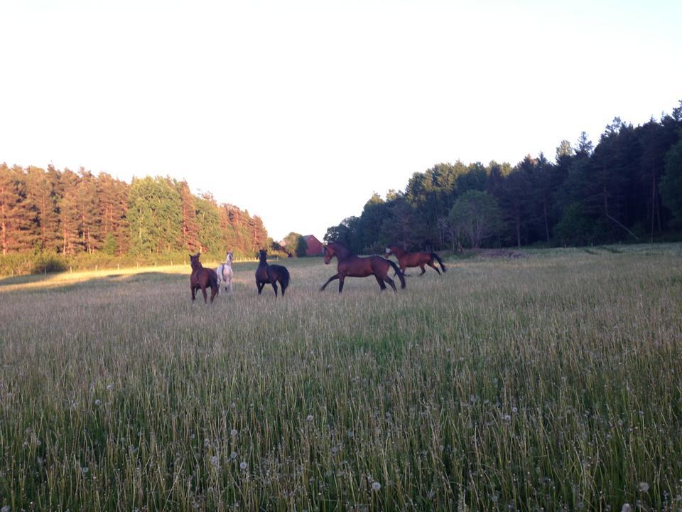 Sommarbete på Hällens gård.